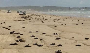 hundreds of dead birds have washed up on Sydney's beaches - as experts say something is going 'drastically wrong' and declare a crisis